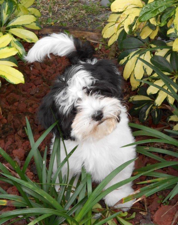 Jangle Havanese – Havanese Puppies Florida